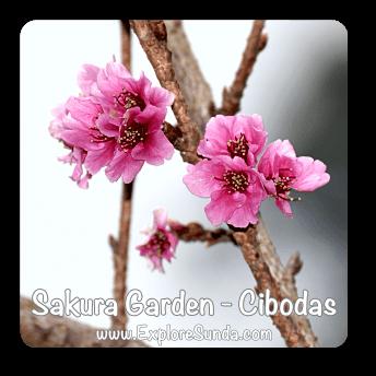 Sakura Garden inside Cibodas Botanical Garden near Puncak Pass.