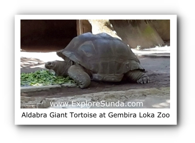 Aldabra, the Giant Tortoise, at Gembira Loka Zoo