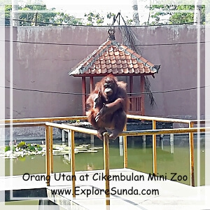 Orang Utan at Cikembulan Mini Zoo
