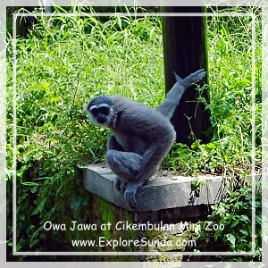Owa at Cikembulan Mini Zoo