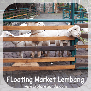 The sheep feeding time, which is at all time :) in Floating Market Lembang.