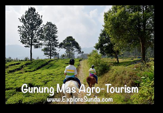 Horse ride at Gunung Mas Tea Agro-Tourism, Puncak