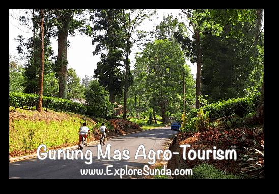 Cycling at Gunung Mas Tea Agro-Tourism, Puncak
