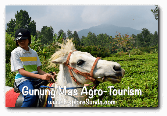 Parks and Gardens: Horse riding at Gunung Mas Agro Tourism, Puncak Pass.