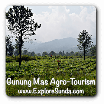 Gunung Mas Agro Tourism, The Tea Plantation at Puncak Pass.