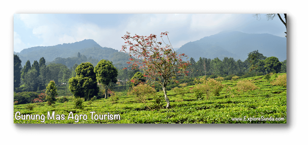 Parks and Gardens: Gunung Mas Agro Tourism at Puncak Pass.