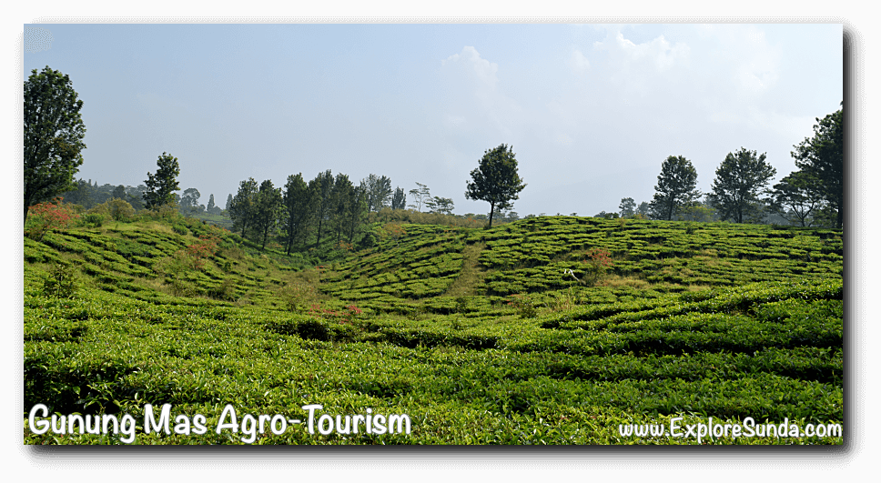 Gunung Mas Tea Plantation in Puncak