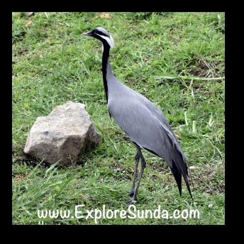 A bird native from China, at Istana Panda, Taman Safari Indonesia Cisarua Bogor.