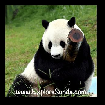 Cai Tao, the male giant panda at Taman Safari Indonesia Cisarua Bogor.