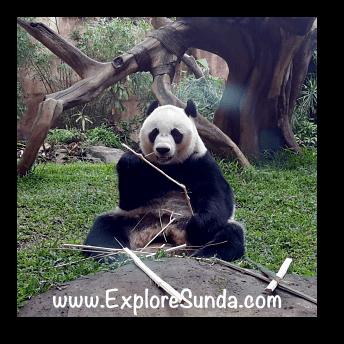Hu Chun, the female giant panda at Taman Safari Indonesia Cisarua