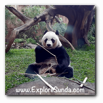 Hu Chun, the female giant panda at Taman Safari Indonesia Cisarua Bogor.