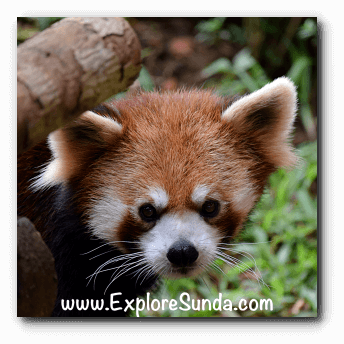 Red Panda, another wild animal from China, at Istana Panda, Taman Safari Indonesia Cisarua