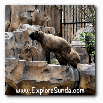 Takin, another wild animal from China, at Istana Panda, Taman Safari Indonesia Cisarua