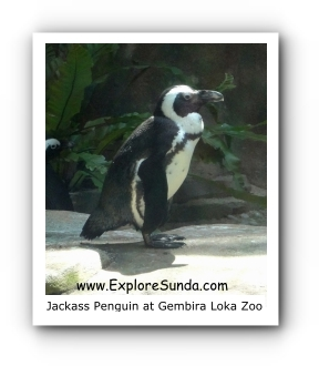 Jackass Penguin a.k.a. Black Footed Penguin at Gembira Loka Zoo