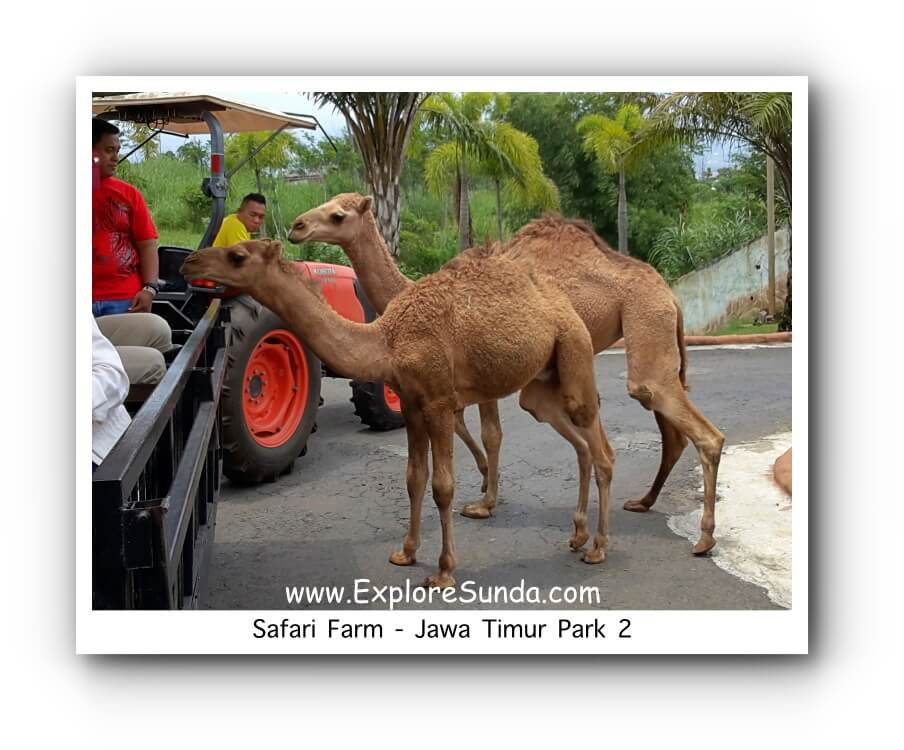Camels look for carrots at the Safari Farm ride in Jawa Timur Park 2 [Jatim Park 2].