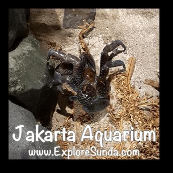 Jakarta Aquarium - Coconut Crab