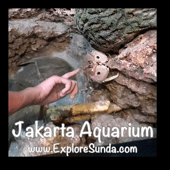 Jakarta Aquarium Touch Pool - Crab