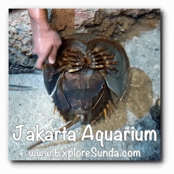 Jakarta Aquarium Touch Pool - Horseshoe Crab in English and Mimi for male and Mintuna for female in bahasa Indonesia