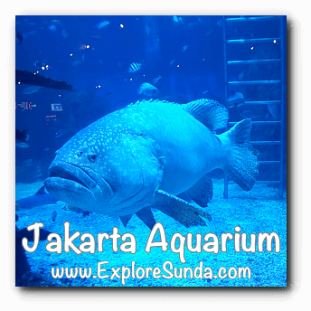 Jakarta Aquarium - Grouper in English or Kerapu in bahasa Indonesia