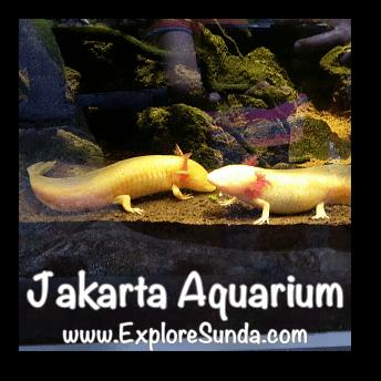Salamanders at Jakarta Aquarium.