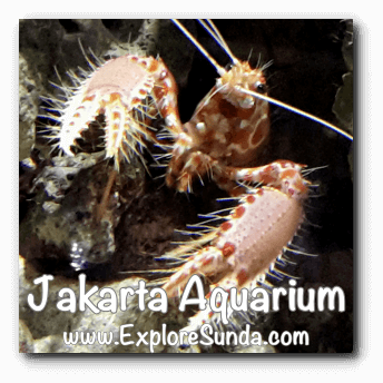 Jakarta Aquarium - Shrimp