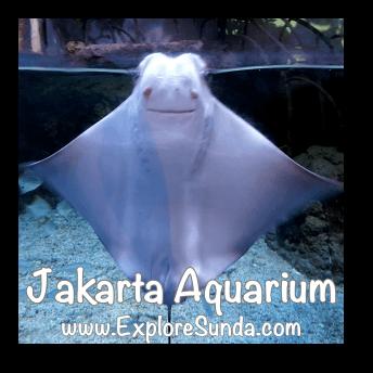 Jakarta Aquarium - Pari Burung Hidung Sapi / Rhinoptera Javanica / Javanese cownose / flapnose