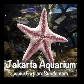 A starfish at Jakarta Aquarium.
