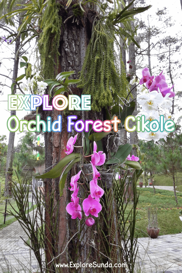 #OrchidForestCikole #Lembang | a pine forest with lots of orchids, Sky Bridge and High Rope obstacle | #ExploreSunda.com