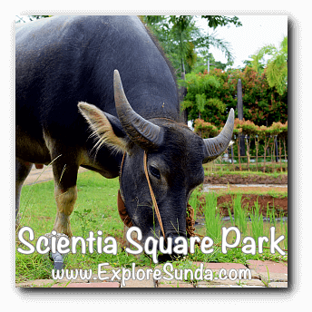 Buffalo on a paddy field at Scientia Square Park, Summarecon Serpong