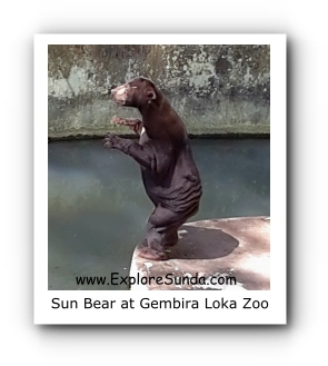Sun Bear at Gembira Loka Zoo