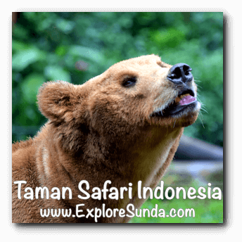 Bear at Taman Safari Indonesia Cisarua, Puncak