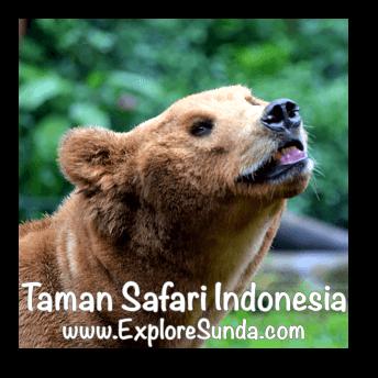 Bear at Taman Safari Indonesia Cisarua, Puncak
