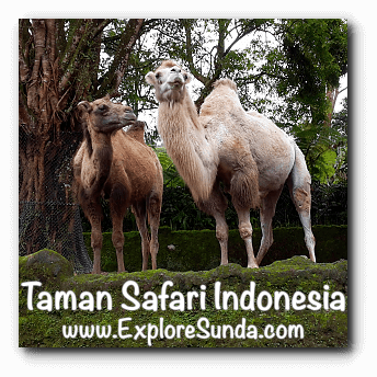 Camels at Safari Journey in Taman Safari Indonesia Cisarua, Puncak