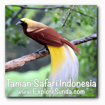 Cendrawasih, the bird of paradise, in Taman Safari Indonesia Cisarua, Puncak