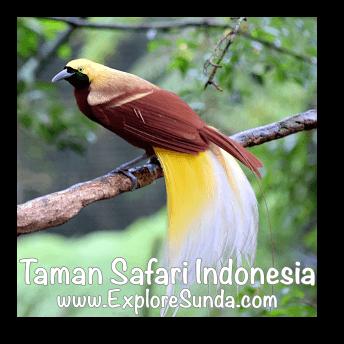 Cendrawasih, the bird of paradise, in Taman Safari Indonesia Cisarua, Puncak