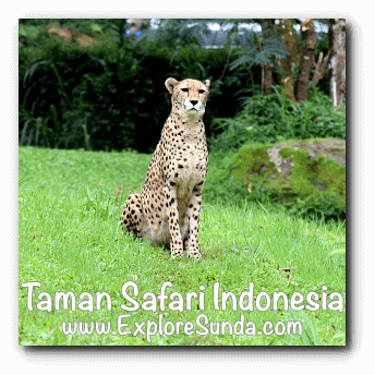 A cheetah in Taman Safari Indonesia Cisarua, Puncak