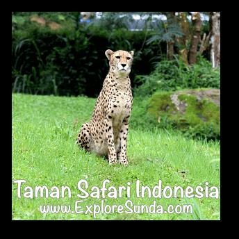 A cheetah in Taman Safari Indonesia Cisarua, Puncak