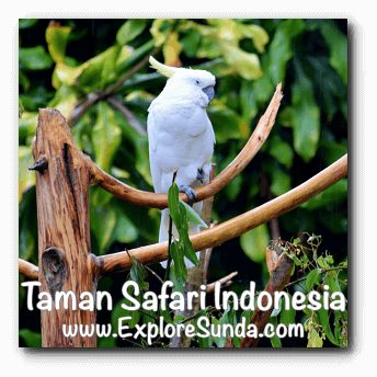 A Cockatoo in Bird Aviary at Taman Safari Indonesia Cisarua, Puncak