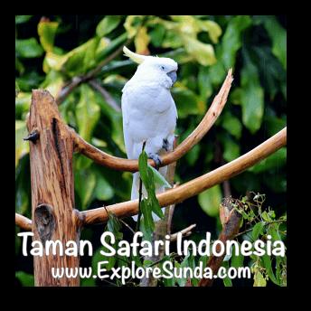 A Cockatoo in Bird Aviary at Taman Safari Indonesia Cisarua, Puncak