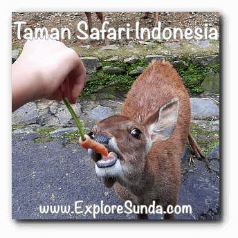 Feeding a deer at Taman Safari Indonesia Cisarua, Puncak