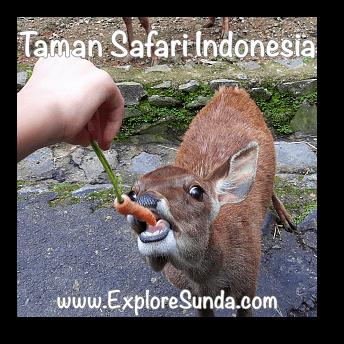 Feeding a deer at Taman Safari Indonesia Cisarua, Puncak