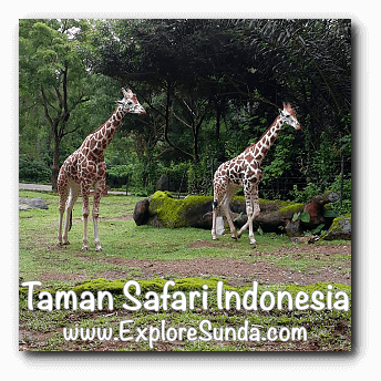 Giraffes at Safari Journey in Taman Safari Indonesia Cisarua, Puncak