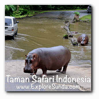 Two hippos also want their share of carrots at Taman Safari Indonesia Cisarua, Puncak