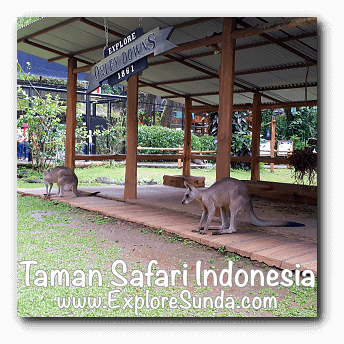Grey kangaroo in Australian Outback habitat at Taman Safari Indonesia Cisarua, Puncak