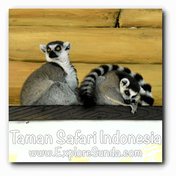 Ring Tailed Lemurs hang out in Big Cat Center habitat at Taman Safari Indonesia Cisarua, Puncak
