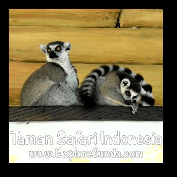 Ring Tailed Lemurs hang out in Big Cat Center habitat at Taman Safari Indonesia Cisarua, Puncak