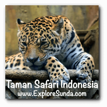 Leopard in Big Cat Center habitat at Taman Safari Indonesia Cisarua, Puncak