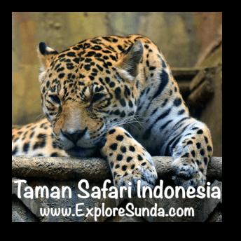 Leopard in Big Cat Center habitat at Taman Safari Indonesia Cisarua, Puncak