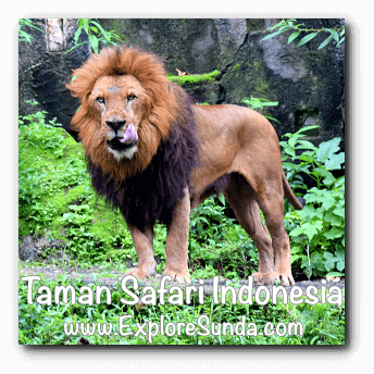 A lion in Taman Safari Indonesia Cisarua, Puncak