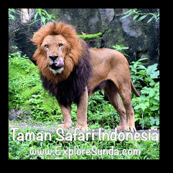 A lion in Taman Safari Indonesia Cisarua, Puncak